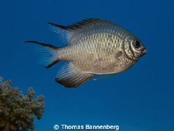 Whitebelly damselfish (Amblyglyphidodon leucogaster)